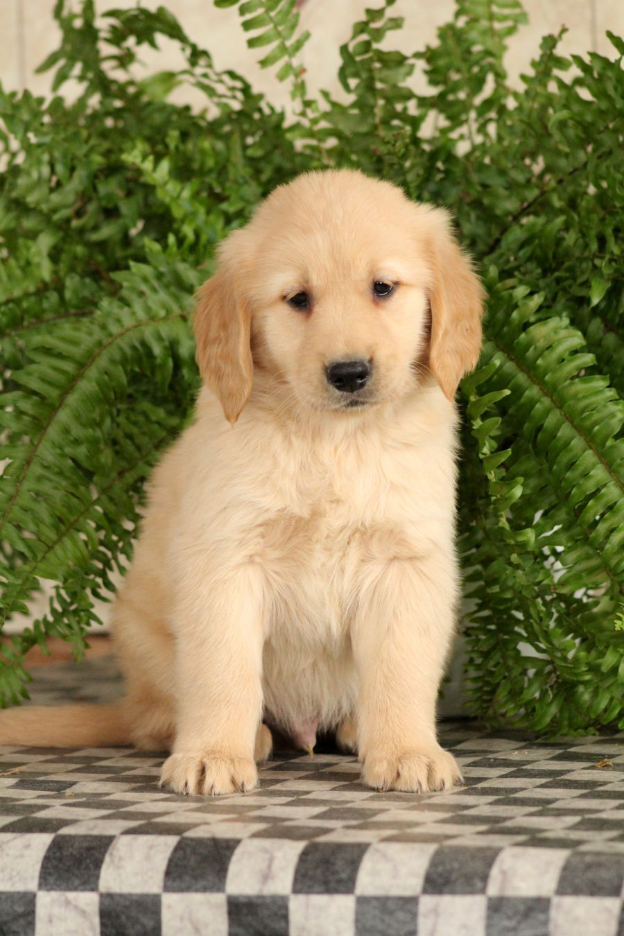 Hi I M Jotham A Charming Soft And Friendly Goldenretriever
