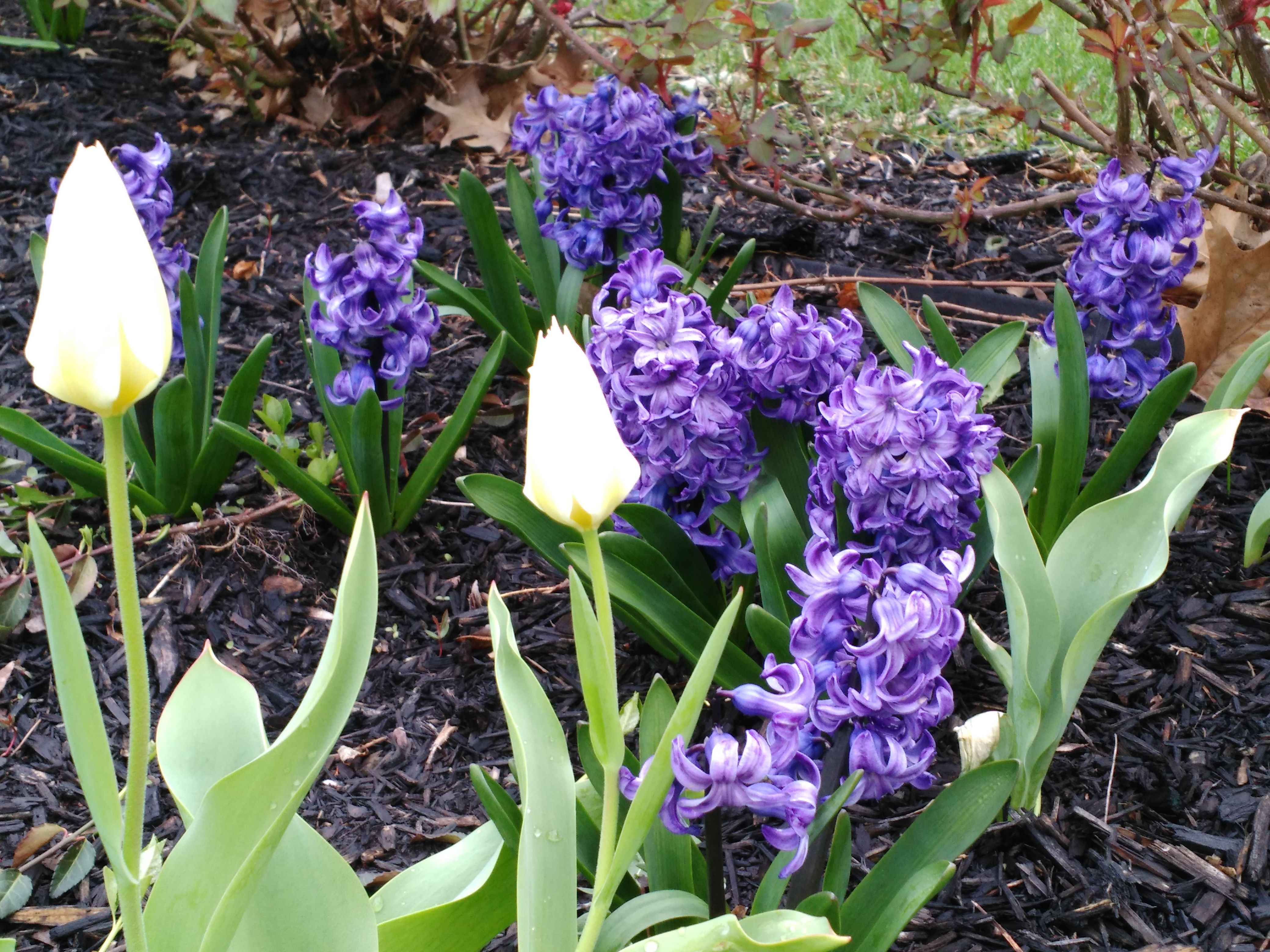 Tulip and Hyacinth create an amazing combination in the Spring, especially with purple and yellow color combination- one of the best! Learn more about how to design with color here: http://www.outdoorhomeandgarden.com/designing-with-plant-colors-garden-landscape/