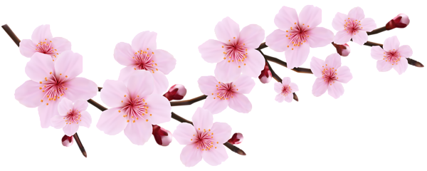 Cherry Blossom Branch Png Cherry Blossom Art Cherry Blossom Clip Art Blossoms Art