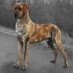 Great Dane Dog Breed Information Dane Puppies Dane Dog Great