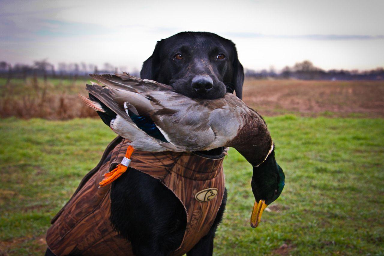 Black Lab Duck Dog