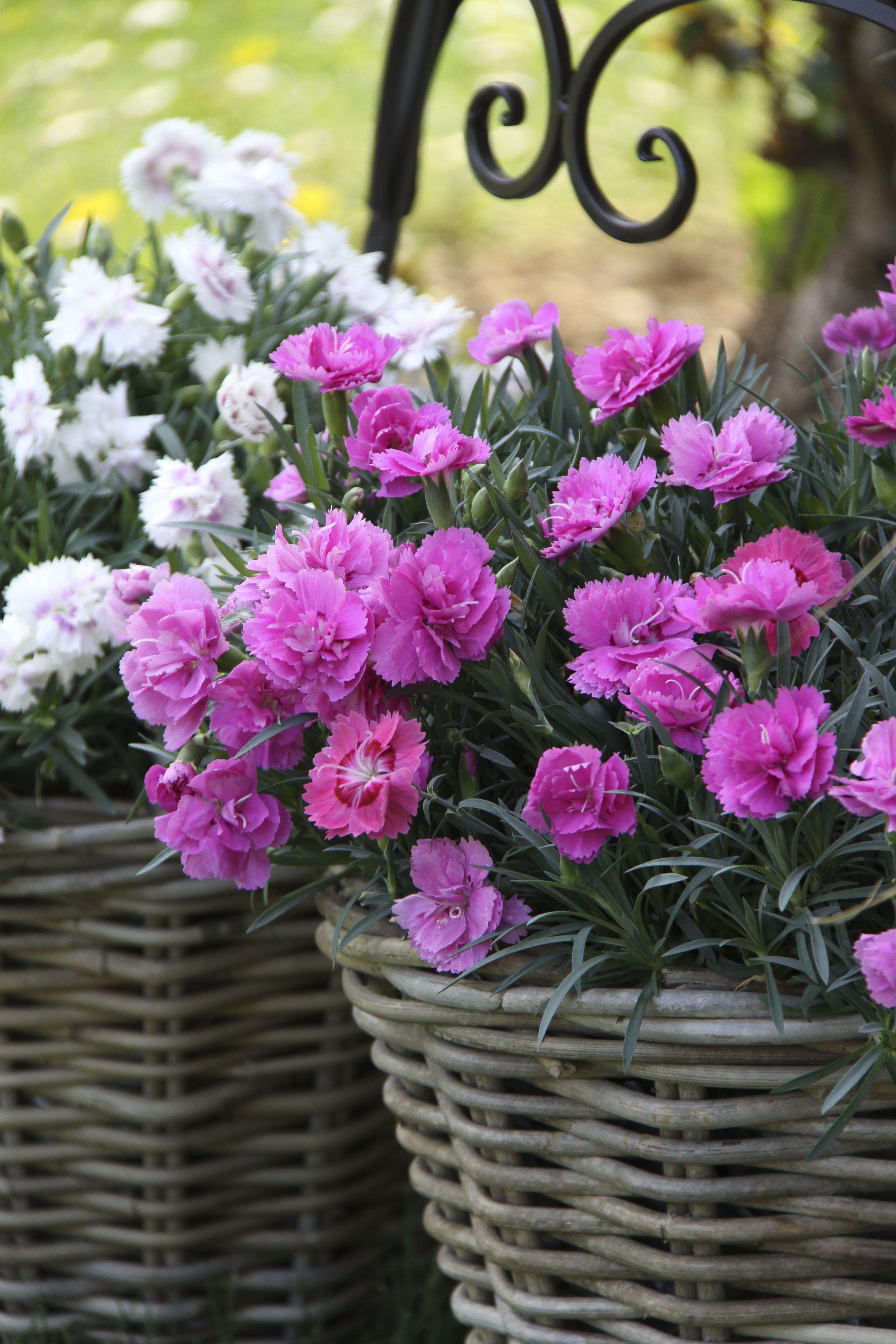 Topfnelken Im Garten Und Auf Dem Balkon #1000gutegruende #nelken #garten  #balkondeko