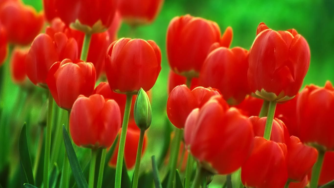 Wallpaper download full screen - Tulip Flowers New Full Screen Hd Wallpapers