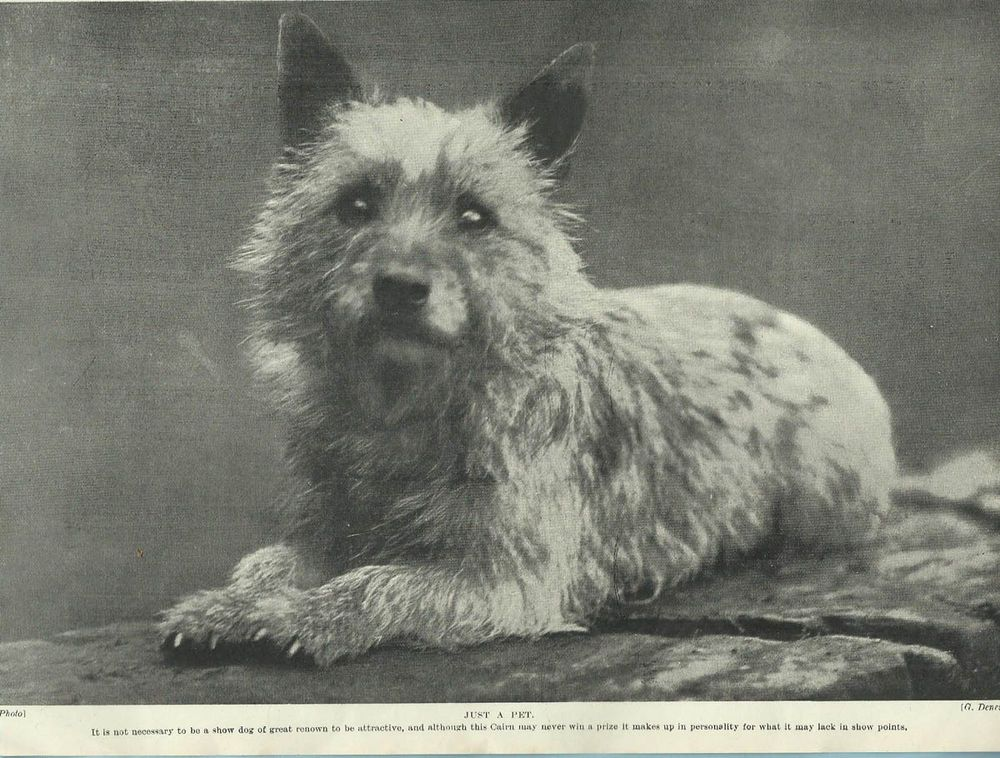 Hutchinson S Dog Encyclopedia Vintage Cairn Terrier Black And White Print Pet Dogs Photos Terrier Dogs Cairn Terrier