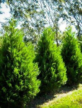 Spartan Juniper Leyland Cypress Trees Leyland Cypress Evergreen Landscape