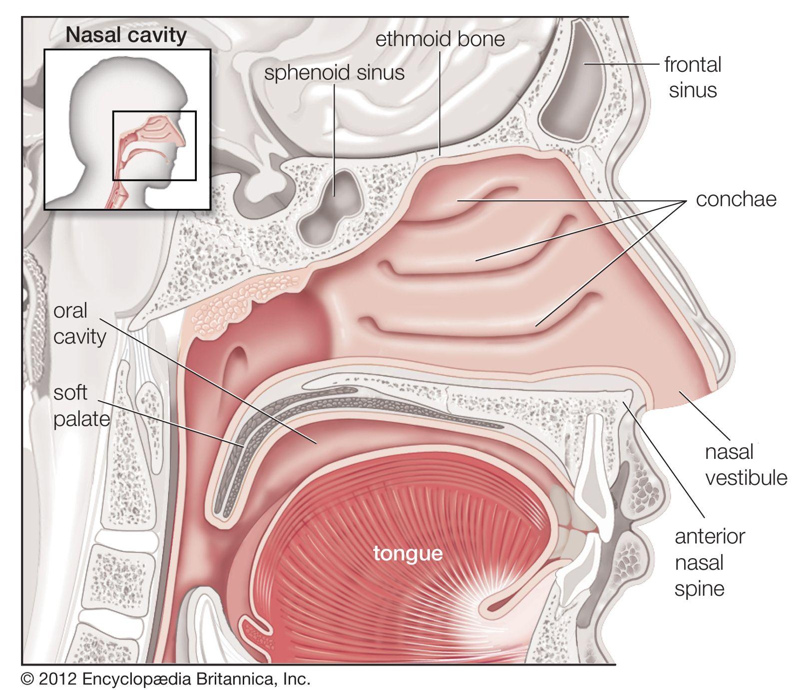 Human Body Nasal Cavity Human Respiratory System Sinusitis