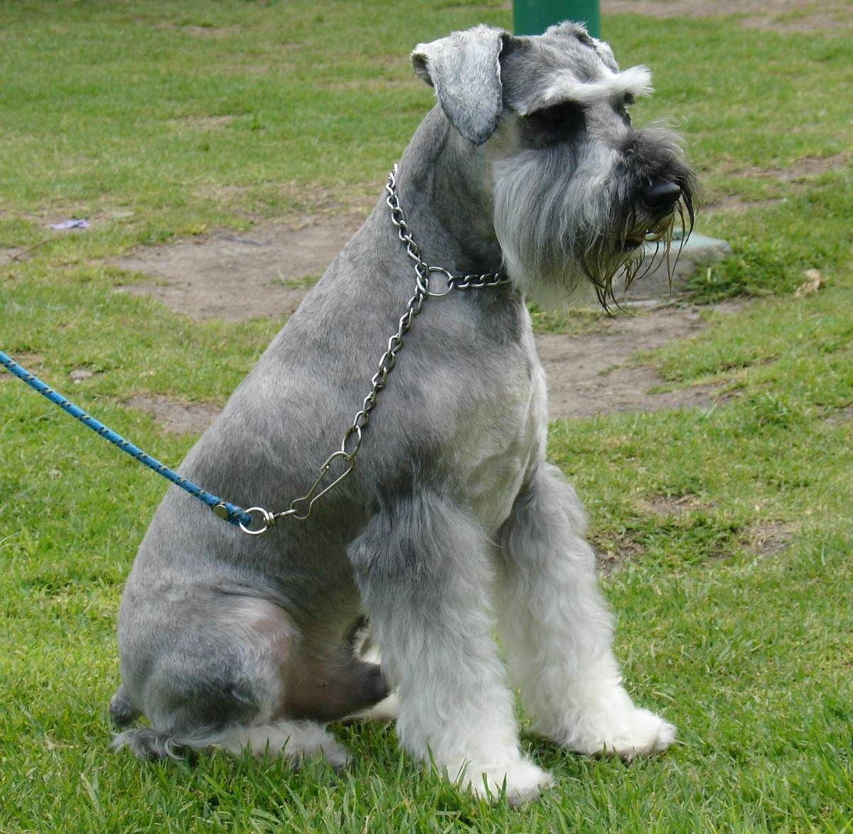 Sitting Schnauzer Standard Dog Photo Schnauzer Dog Photos Dogs