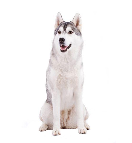 Pin Op Siberian Husky And Alaskan Malamute