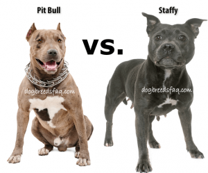 Are Pit Bulls And Staffies The Same Dog Breeds Faq Staffy Dog American Staffordshire Bull Terrier Bull Terrier Puppy