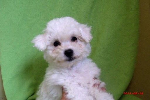Bichon Frise puppy for sale in PATERSON, NJ  ADN-20535 on
