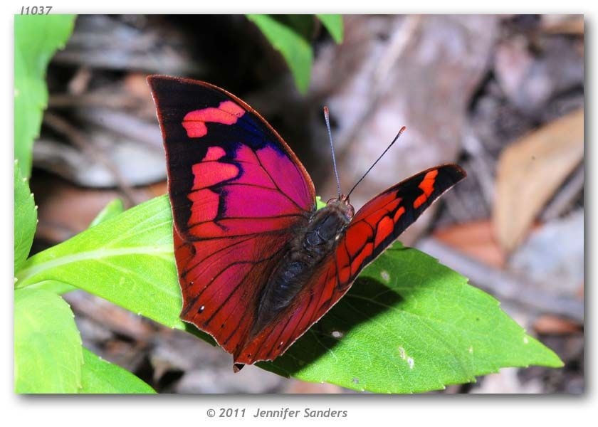 Noble Leafwing butterfly
