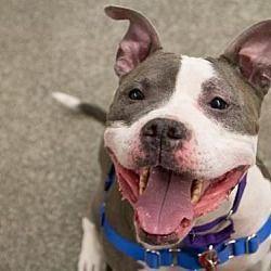 Boston Massachusetts Pit Bull Terrier Meet Kiara A For Adoption
