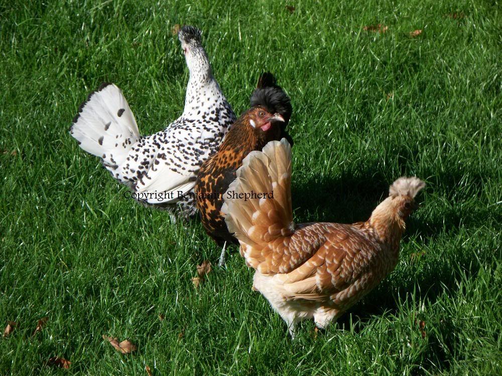 Appenzeller Spitzhauben Color Varieties Chicken Breeds