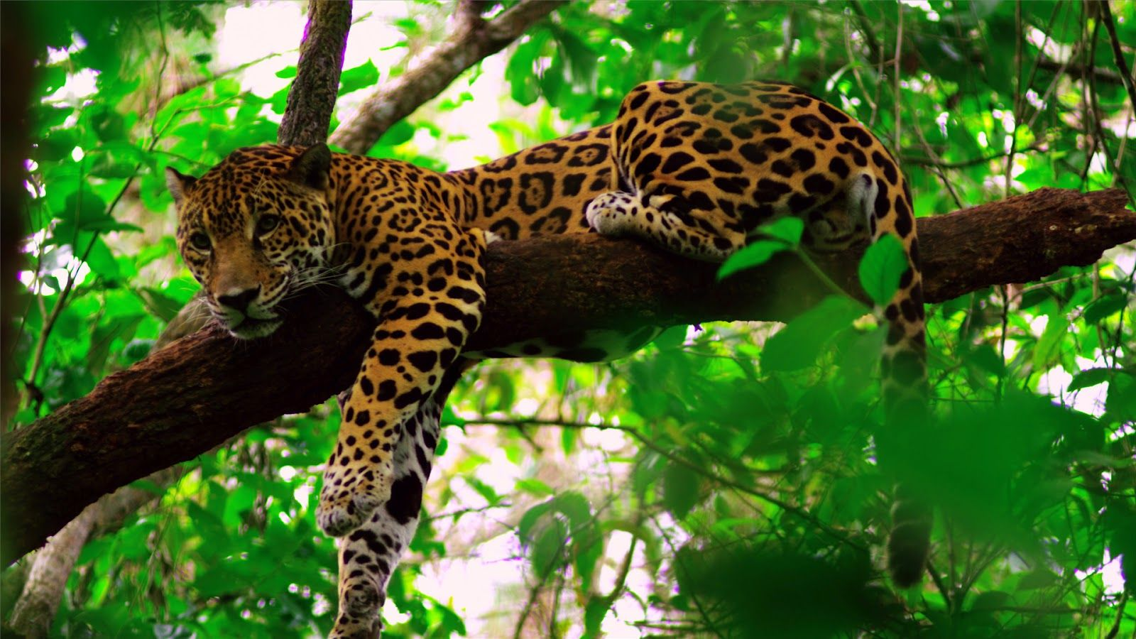 Rainforest Jaguar Www Imgkid Com The Image Kid Has It
