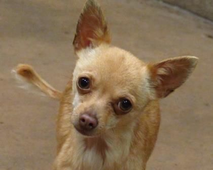 Adopt Agatha A Lovely 3 Years 1 Month Dog Available For Adoption At Petango Com Agatha Is A Chihuahua Short Coat Mix Chihuahua Adoption Animals And Pets