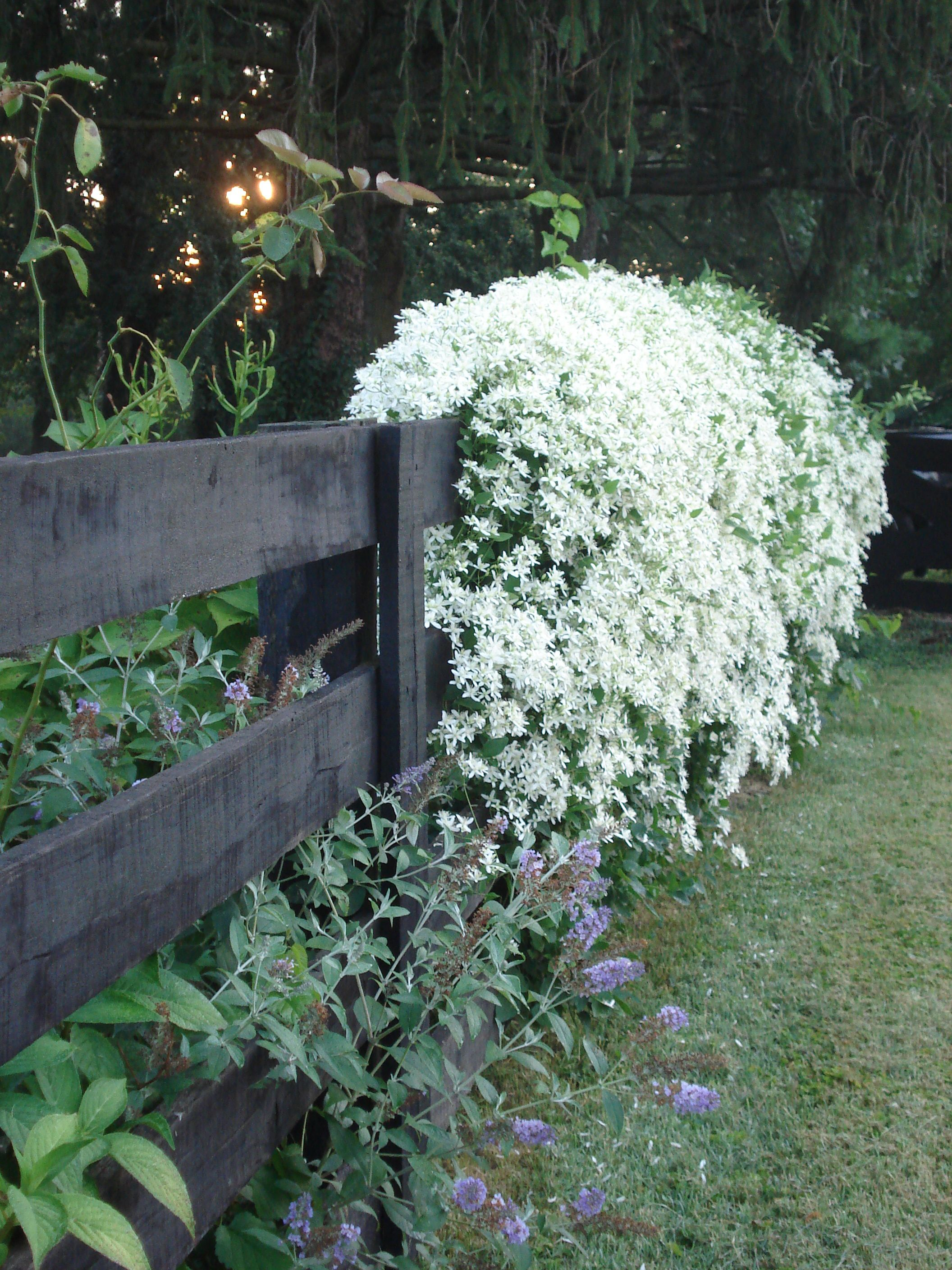 One of my favorite fall garden plants is the showy clematis