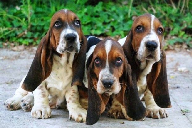Do Your Ears Hang Low Basset Hound Puppy Hound Puppies Basset Puppies