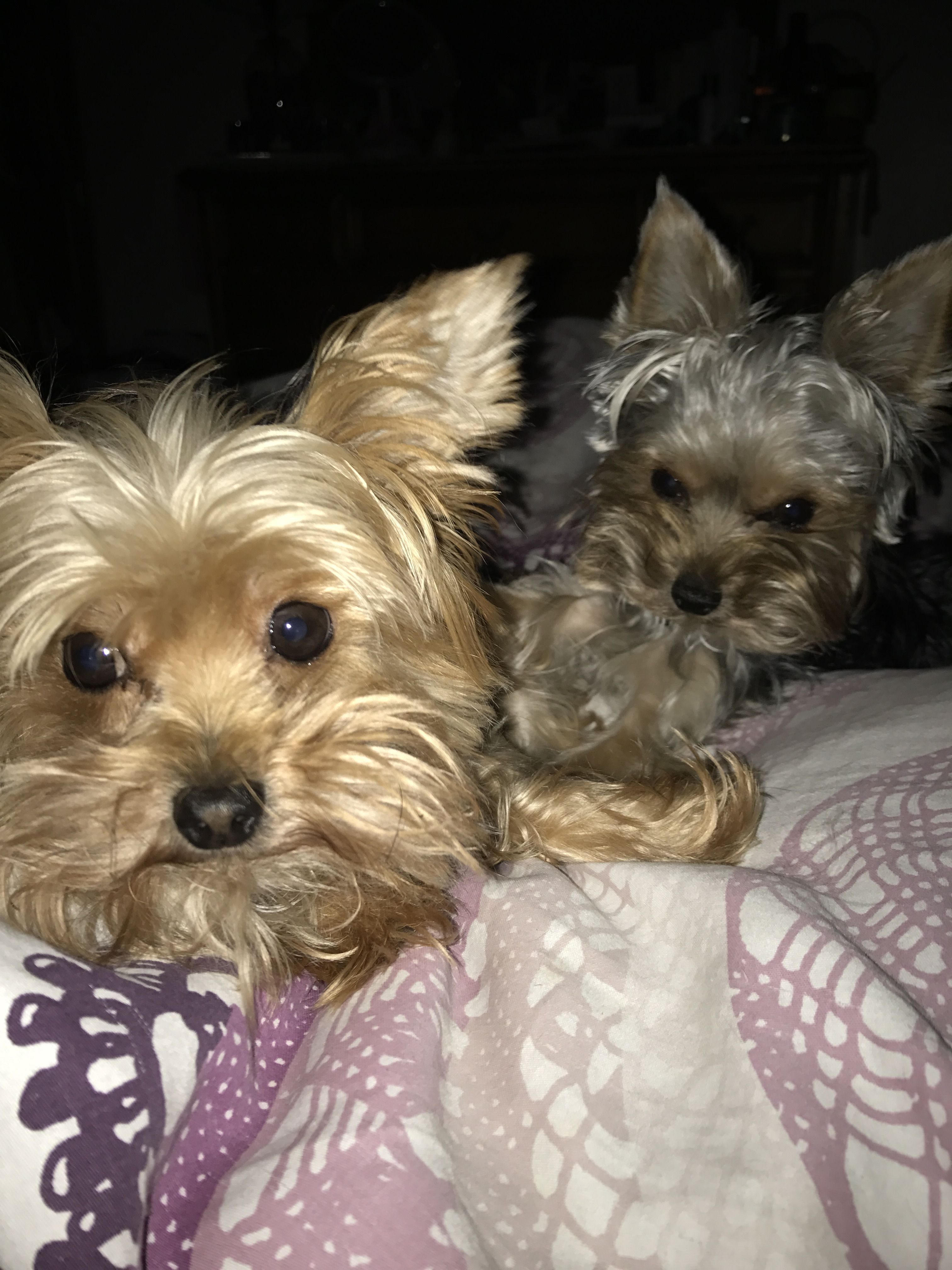 Boo and gizmo yorkshire puppies yorkshire terrier