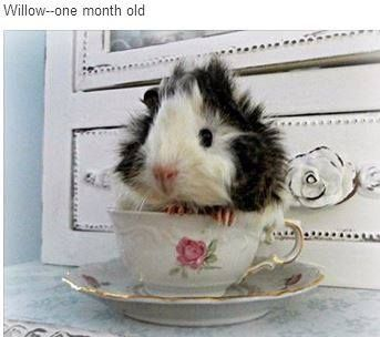 Hi! I'm Willow and I'm 1 month old. My mom, Sandy, shared this photo on the I Love Guinea Pigs Facebook page. https://www.facebook.com/photo.php?fbid=615492788519212set=a.496532753748550.1073741826.495844353817390type=1