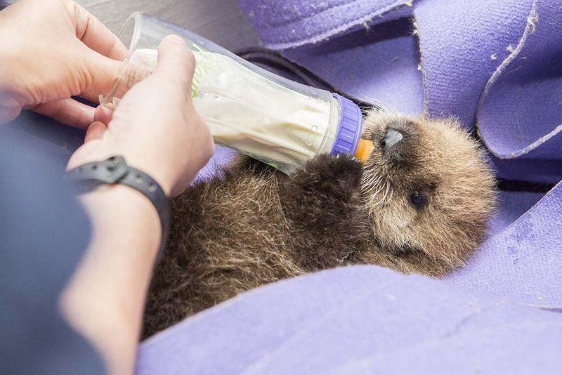 Shedd Aquarium Staff Foster Sea Otter Pup
