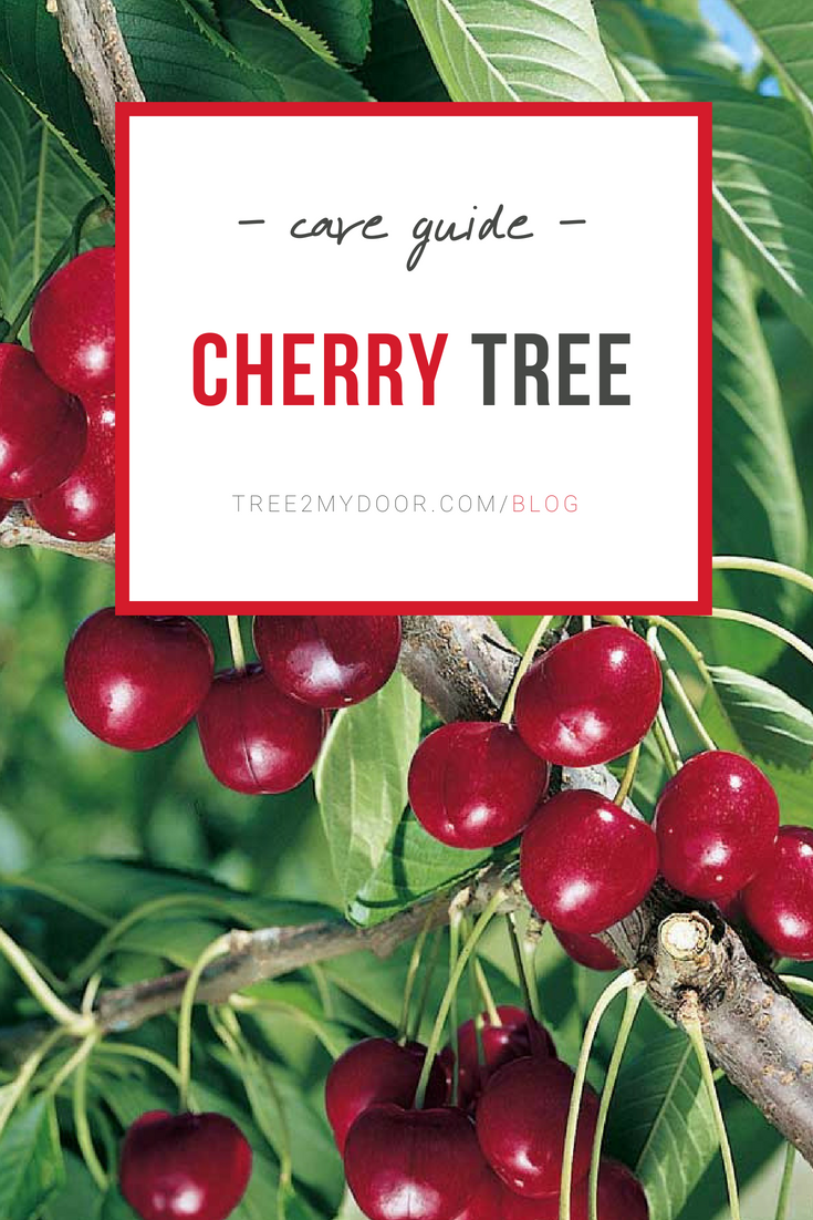 Cherry Tree Care Guide Find Out How To Look After The Cherry Tree In Your Garden Grow Beautiful Blossoms And Fruits Y Cherry Tree Cherry Fruit Tree Tree Care