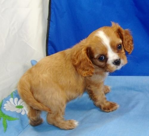 Cavalier Dogs Cavalier King Charles Spaniel Puppies For Sale