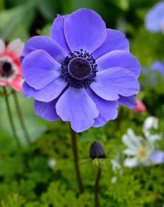 Anemone De Caen Mr Fokker Anemone Flower Purple Flowers Garden Flower Garden Plans