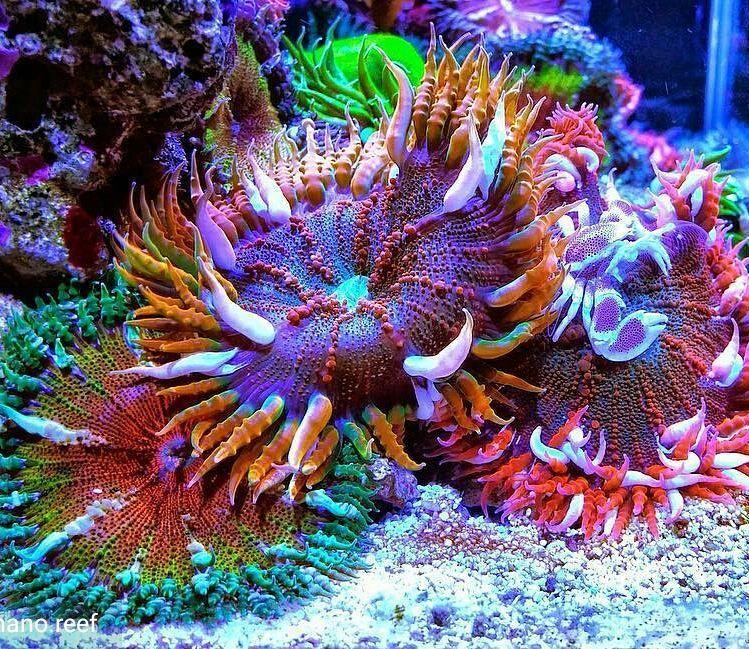 Can T Stop Looking At This Beautiful Rock Flower Anemone Garden Marinedepot Happyreefkeeping Ro Coral Reef Aquarium Saltwater Fish Tanks Deep Sea Creatures