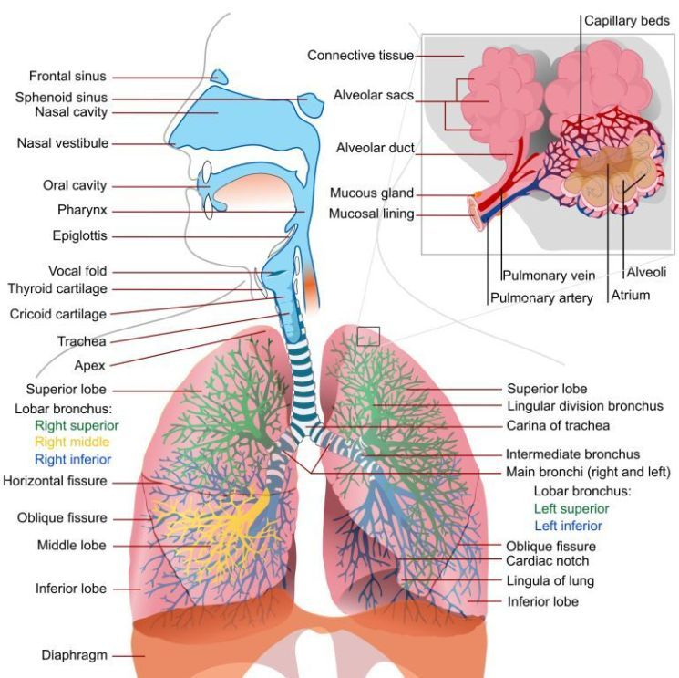 Human Respiratory System Diagram The Main Picture Shows The