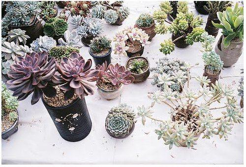succulents + cactus