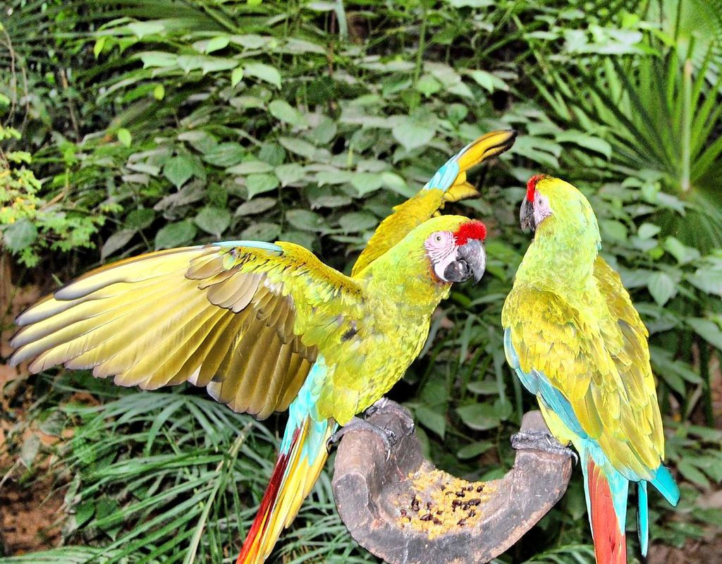Parrots in Mexico jigsaw puzzle in Animals puzzles on
