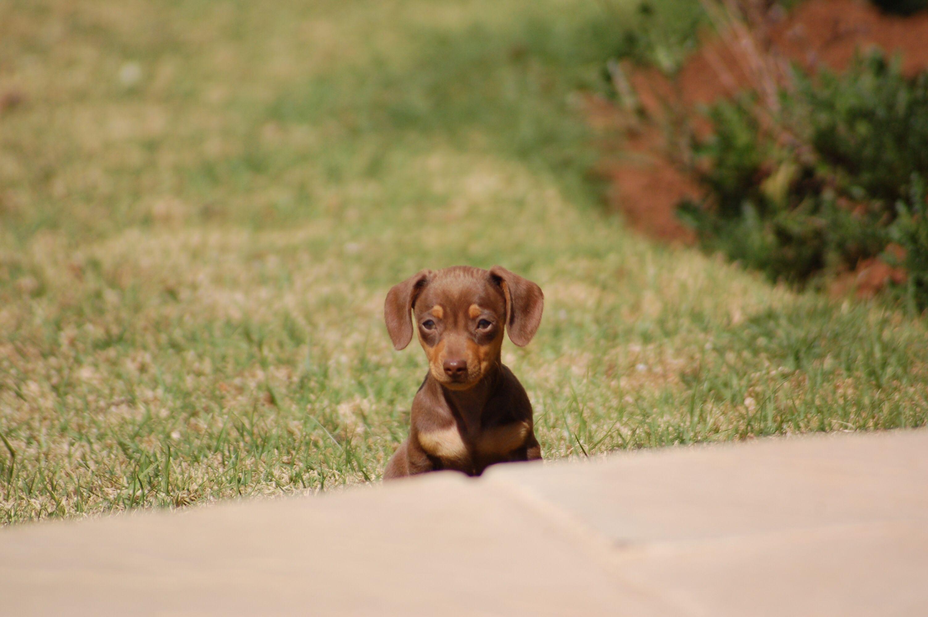 Hello Dachshund Puppy Miniature Cute Animals Dachshund Love