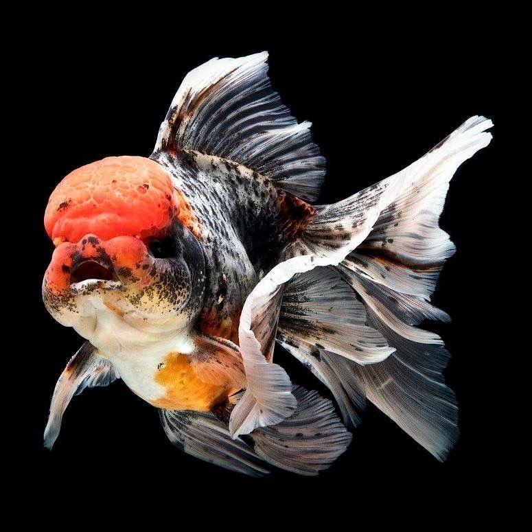 Pin On Goldfish In Memoriam And Koi