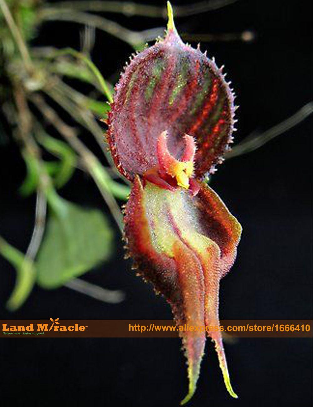 Demon fighteru cymbidium orquídea plantas pinterest orchids