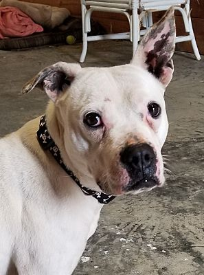 Henderson, NC Boxer. Meet Missy a Pet for Adoption