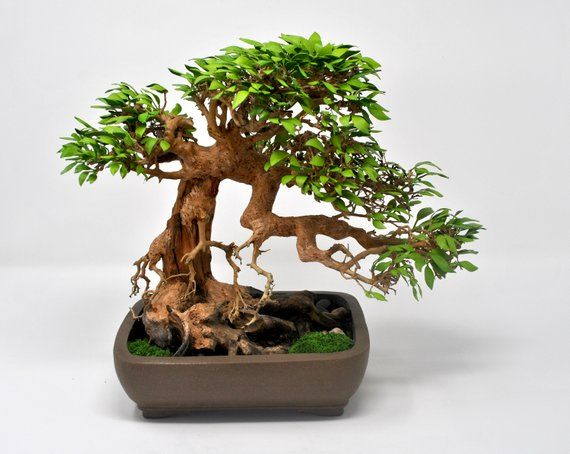 Paper Bonsai | Father's Day Gift, Gifts for Him, Bonsai Gift, Bonsai Tree, Birthday Gift, Unique Gif