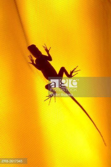 Common agama (Agama agama) on a mosquito net. Saint-Louis. Senegal.  © Víctor Suárez / age fotostock - Stock Photos, Videos and Vectors