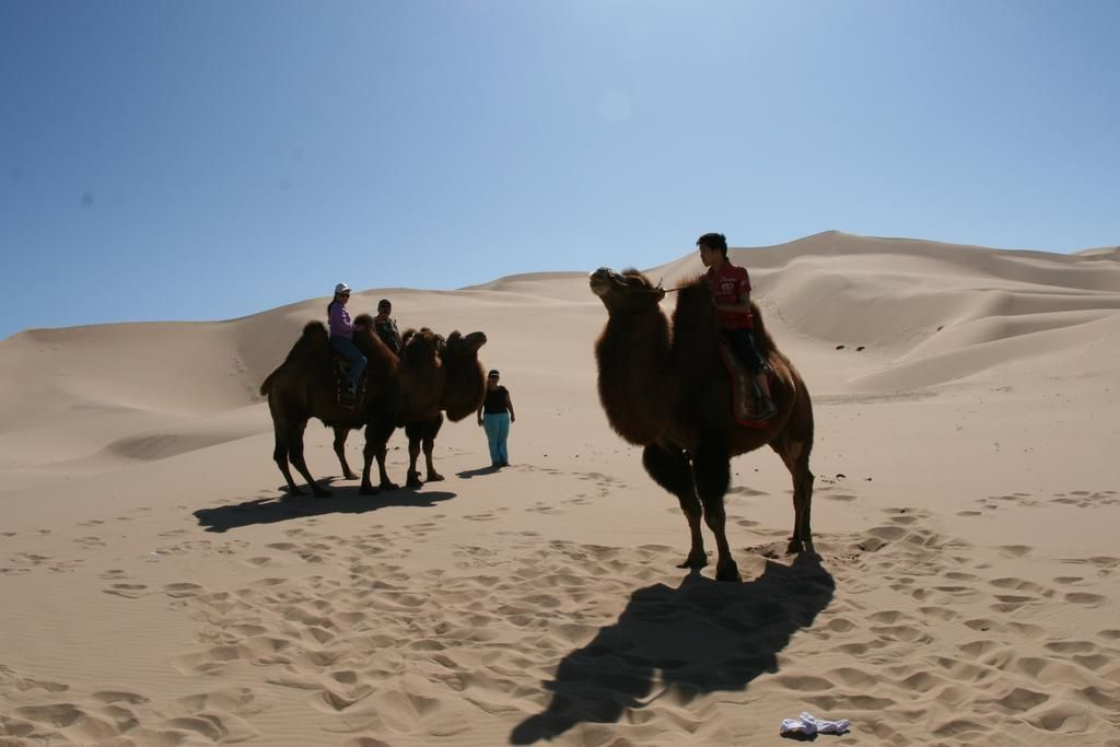 2 Humped Camels Are Used For Transportation In Gobi Desert