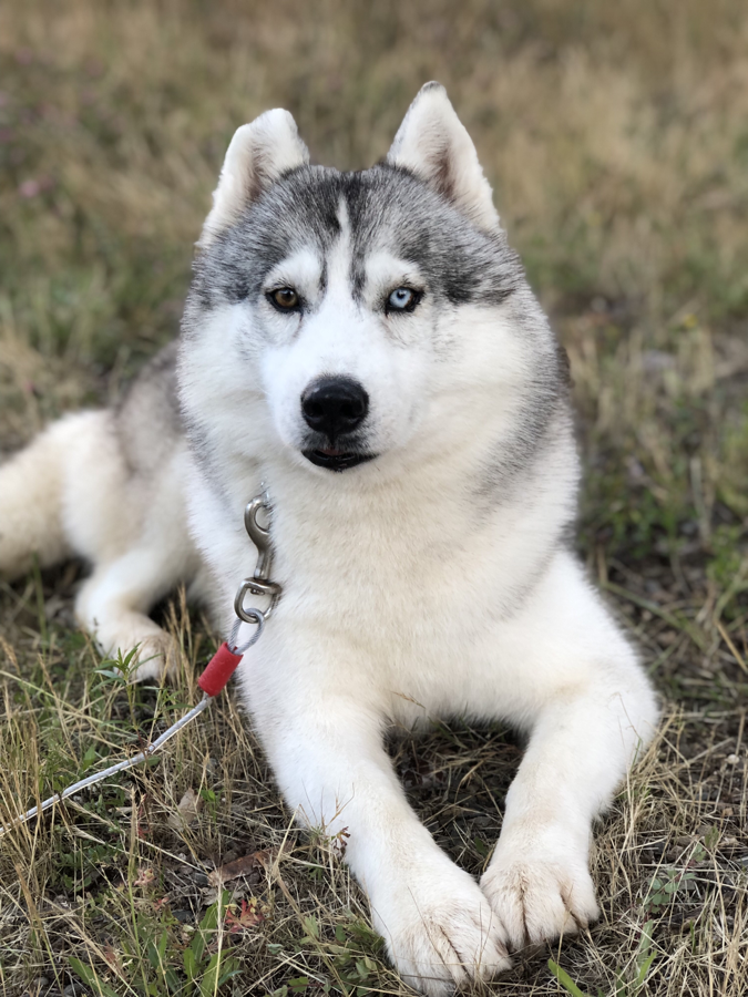 Nowavailable Anastasia Siberians Siberian Husky Puppies Therapy Dogs Puppies