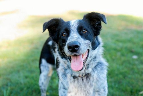 Border Collie Cross Cattle Dog Puppies Google Search With