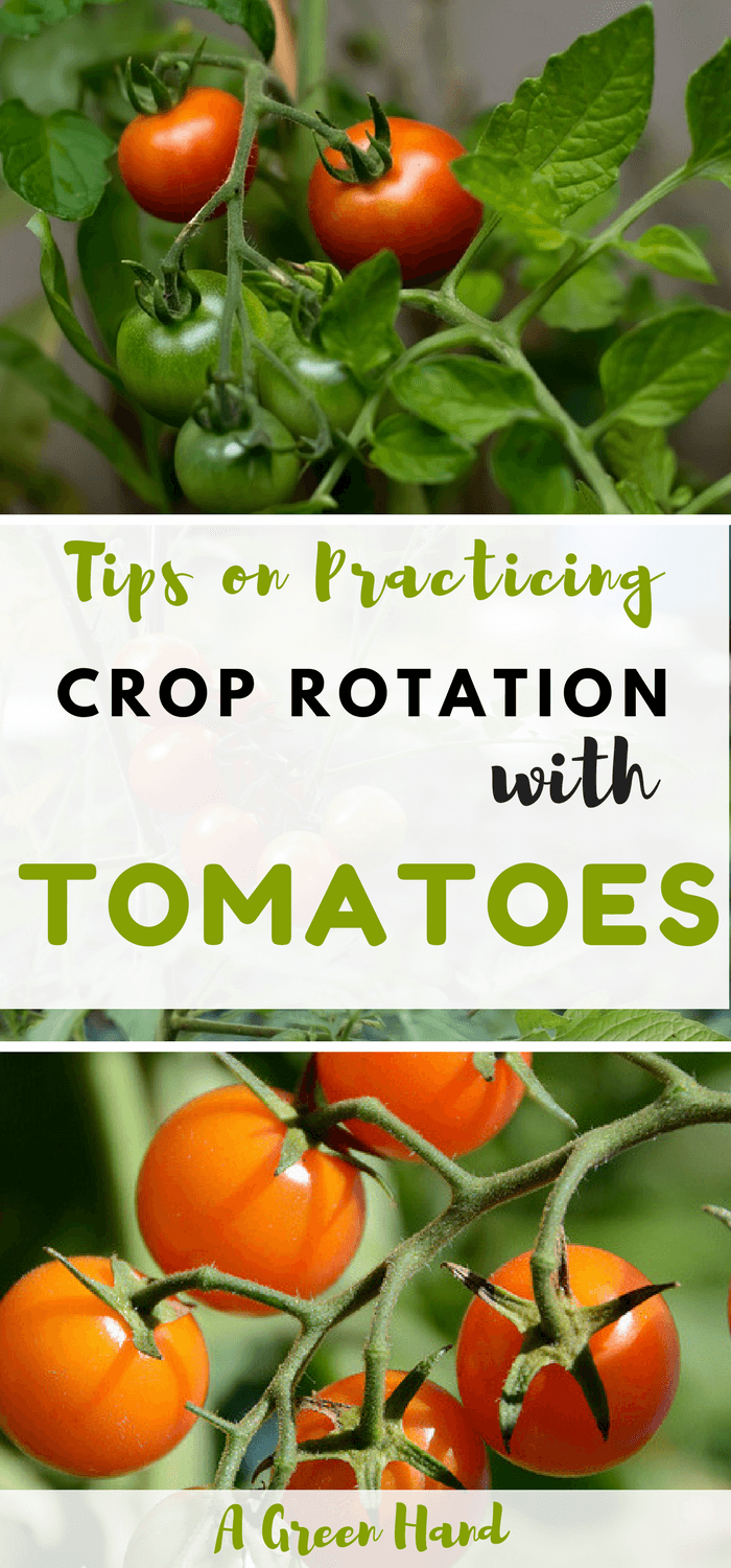 Practicing Crop Rotation With Tomatoes Crop Rotation Growing Organic Tomatoes Organic Tomatoes