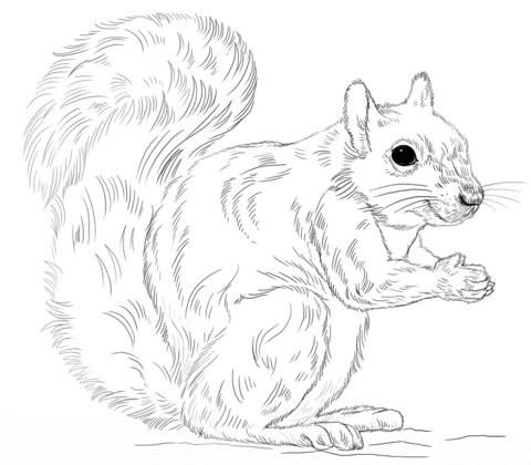 Eastern Gray Squirrel Coloring Page Free Printable Coloring Pages Squirrel Coloring Page Drawing Tutorial Eastern Gray Squirrel