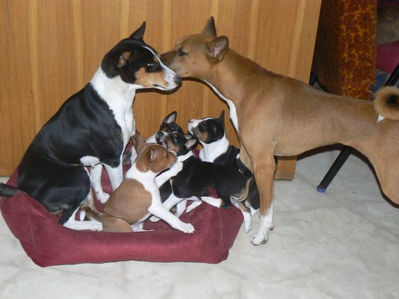 Basenji Parents And Puppies Yorkshire Terrier Puppies Basenji Dogs Dogs