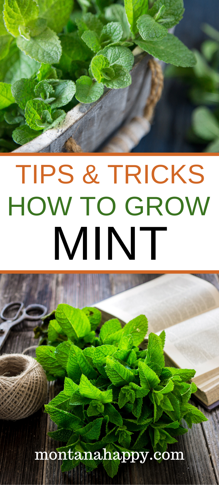 "How to Grow a Mint Garden is part of Mint garden, Growing mint, Home vegetable garden, Mint plants, Growing mint indoors, Growing herbs in pots - How to Grow a Mint Garden will give you the tools on the best ways to start, nurture and harvest your herb garden for best results  ""I grow my own vegetables and herbs  I like being able to tell people who the lunch I'm serving started out as a seed in my yard ""   Curtis Stone    Read more >"