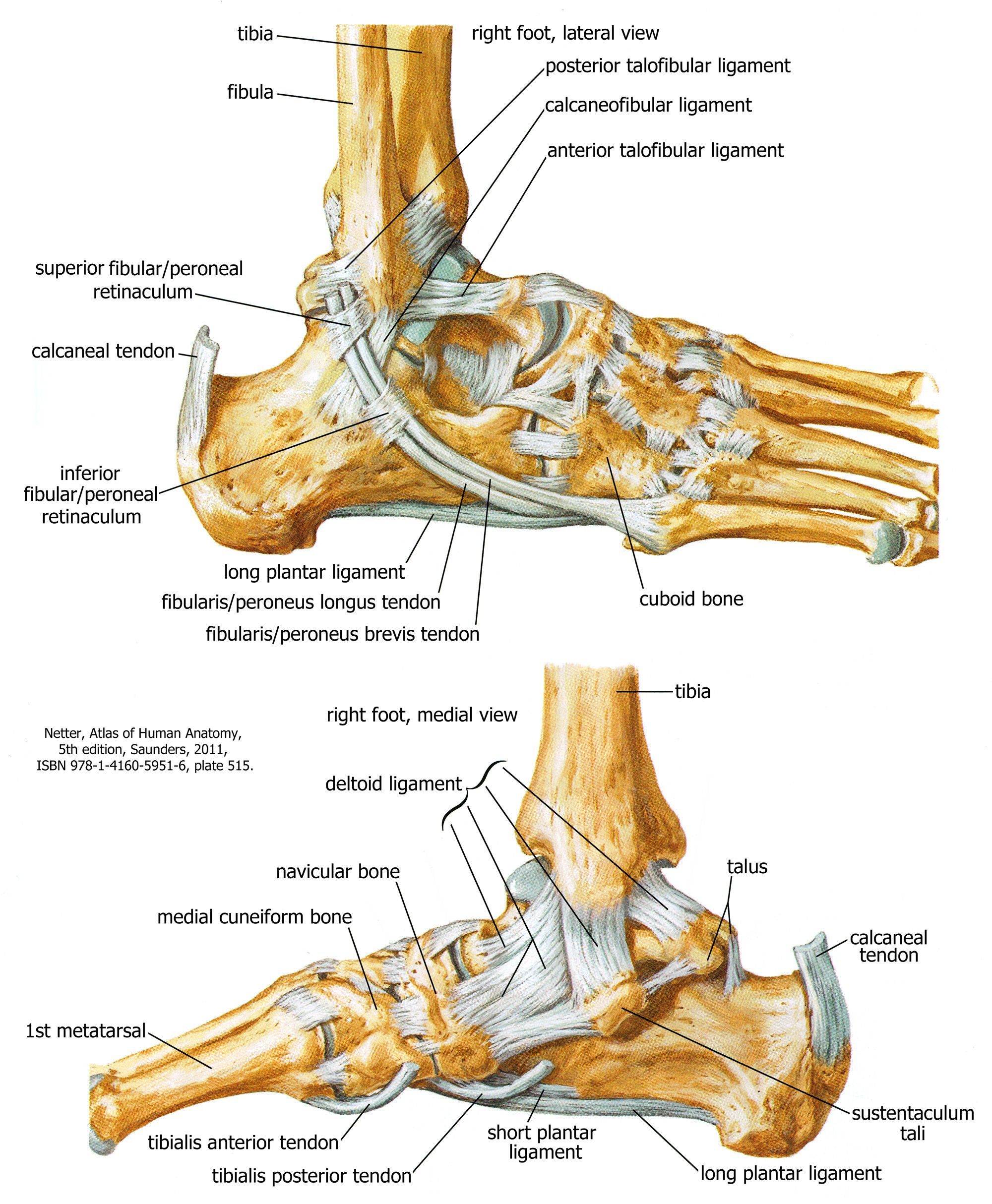 Joints of the Ankle and Foot | Human Anatomy for Physician Assistant ...