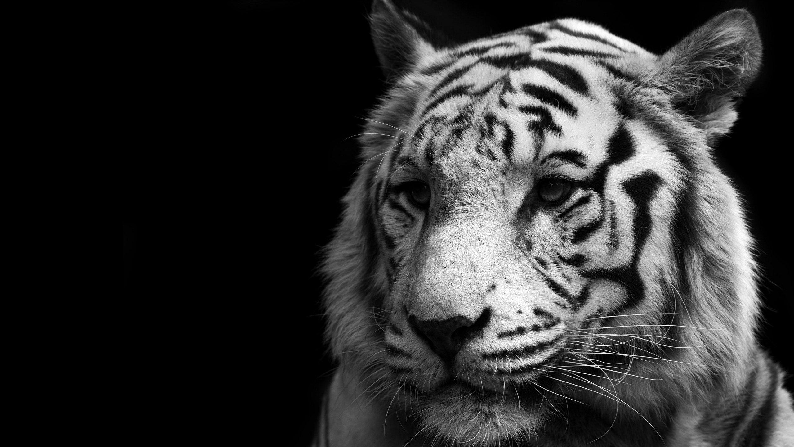 white tiger face image hd nature | ololoshenka | pinterest | black