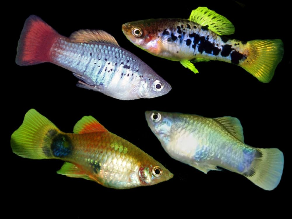 Assorted Variatus Platies Price 0 70 Gbp Worldwide Shipping Https Diapteron Co Uk Product Assorted Variatus Plat Betta Aquarium Platy Fish Tropical Fish
