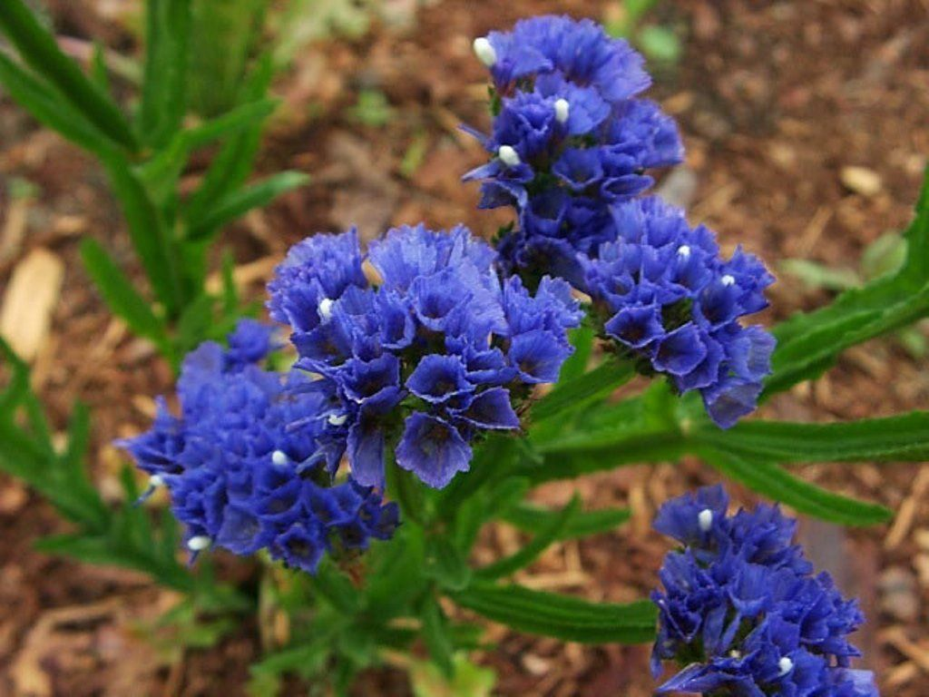 Stat ice seeds midnight blue makes excellent cut flower both stat ice seeds midnight blue makes excellent cut flower both fresh and dried izmirmasajfo