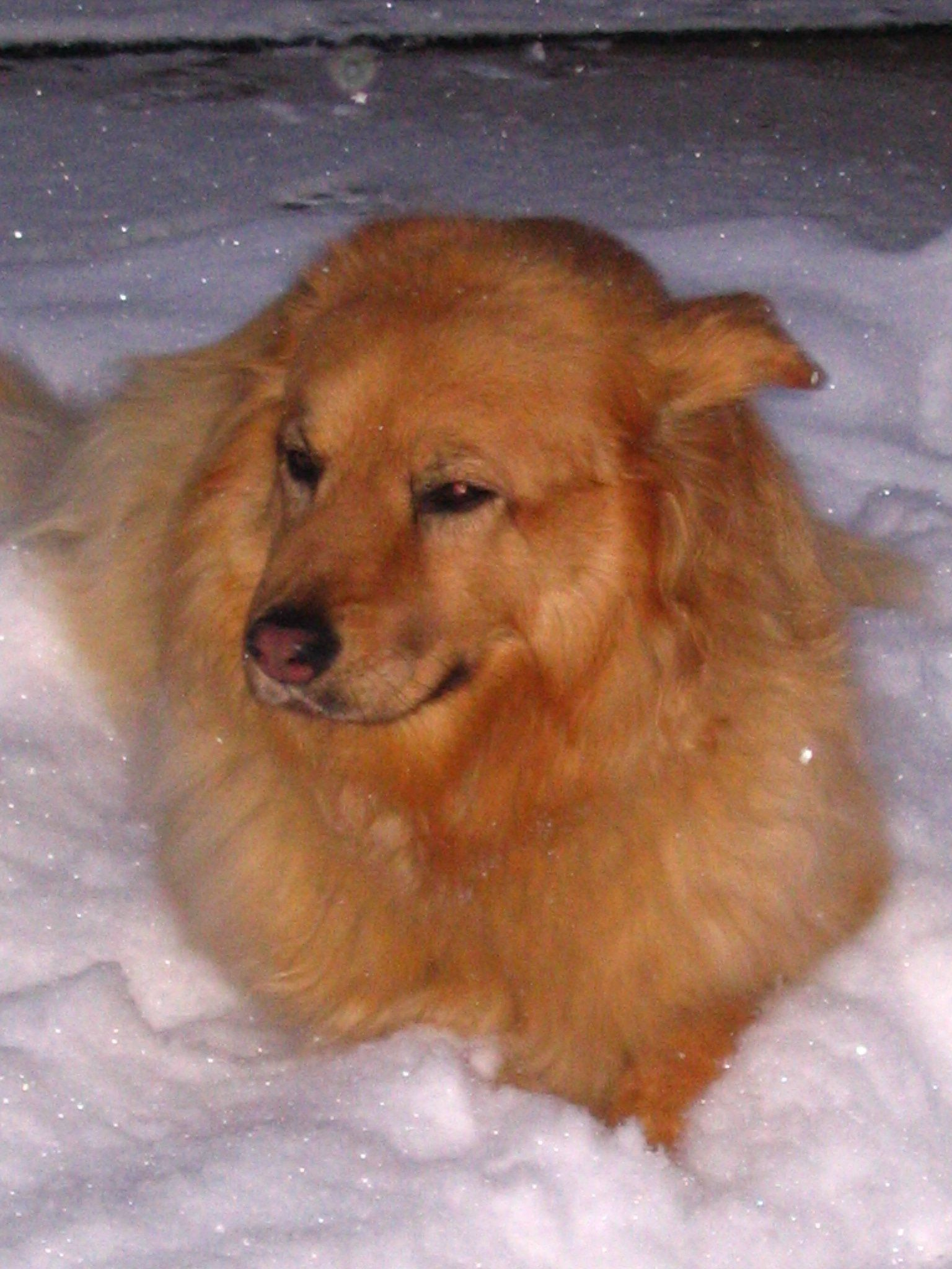 Best Gold Chollie Mix Ever Golden Retreiver Chow Collie