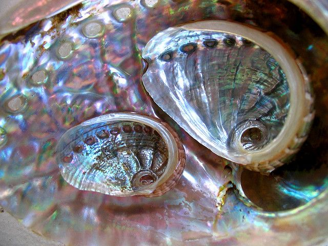 abalone by *omnia*, via Flickr